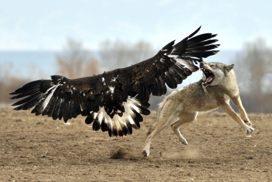 Bald eagle vs. wolf