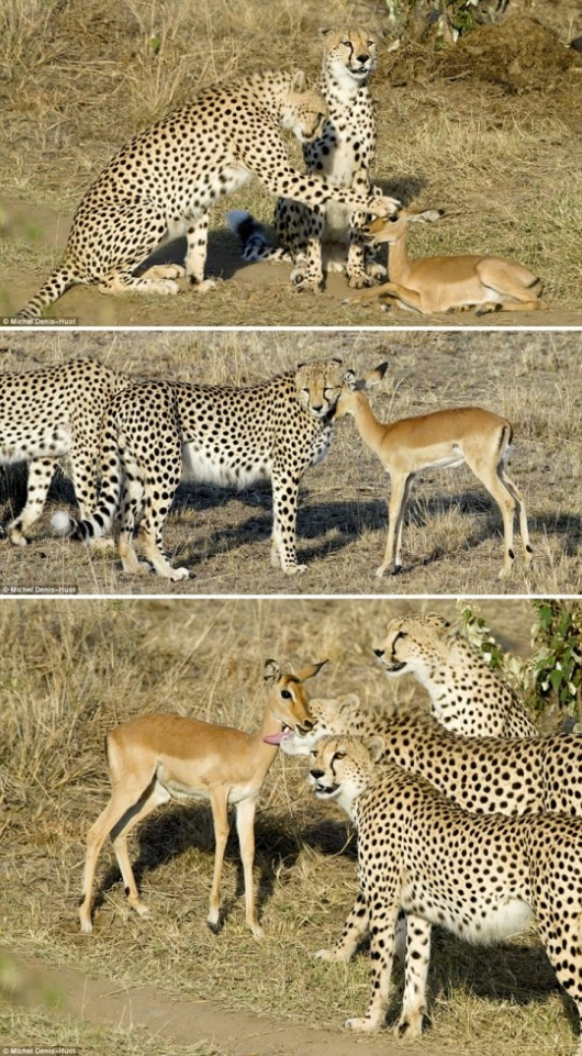 Cheetahs playing with young impala