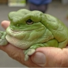 Fat frog is fat