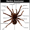 Know your enemy: Spider anatomy