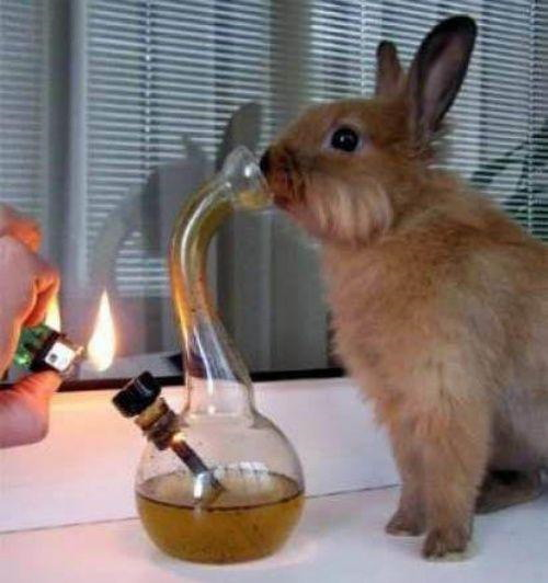 Rabbit smoking bong