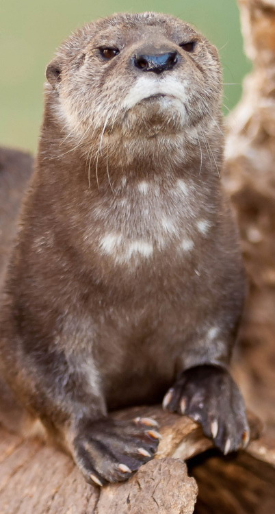 Disapproving otter