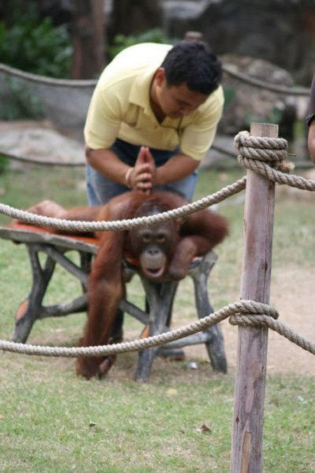 Orangutan getting a massage