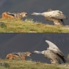 Jackal vs. vulture