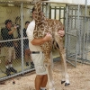 Weighing a giraffe