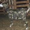 Camouflaged army goat