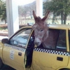 Donkey in a cab