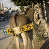 Donkey with a licence plate