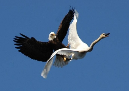 Eagle attacks swan in mid air