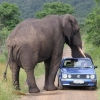 Elephant resting his trunk on a car