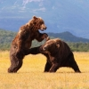 Bear fighting dirty