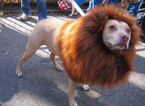 Pit bull in a lion costume