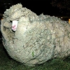 Sheep with an afro