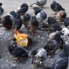 Pigeons getting warm