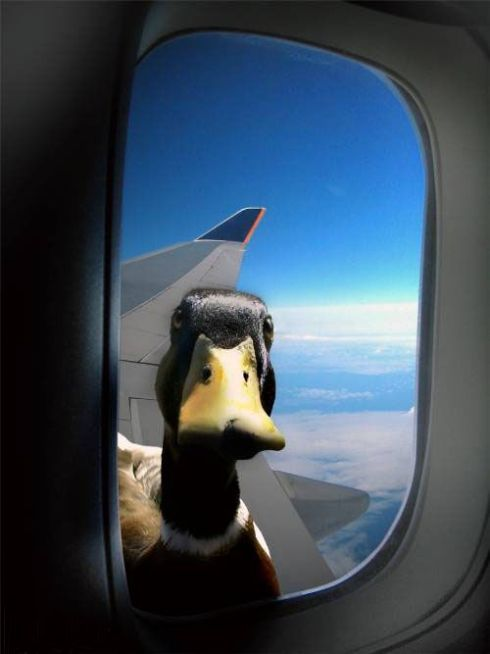 duck-in-the-airplane-window.jpg