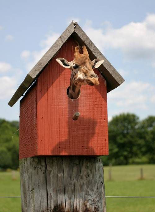 giraffe in a birdhouse   really funny pictures collection on picshag