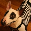Skeleton Bullterrier