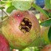Apple wasp nest