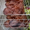 Vegetarian pigs ears