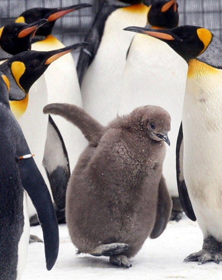 Real life Happy Feet