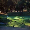 Kangaroos on the golf course