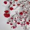 Red berries vs. snow