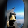 Duck in the airplane window