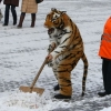 Snow shoveling tiger